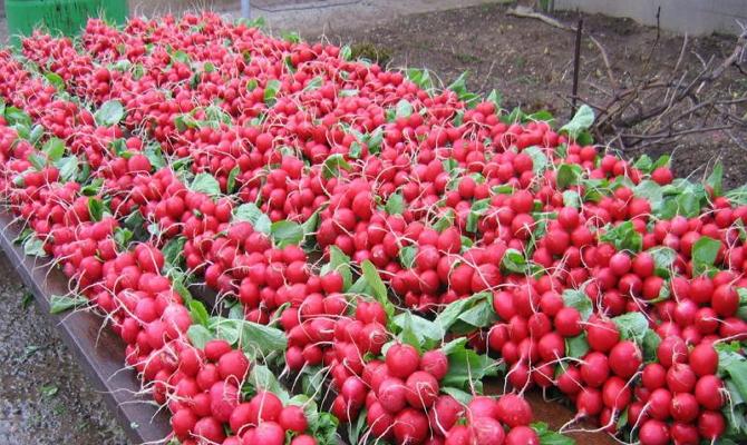 Выращивание редиса на продажу