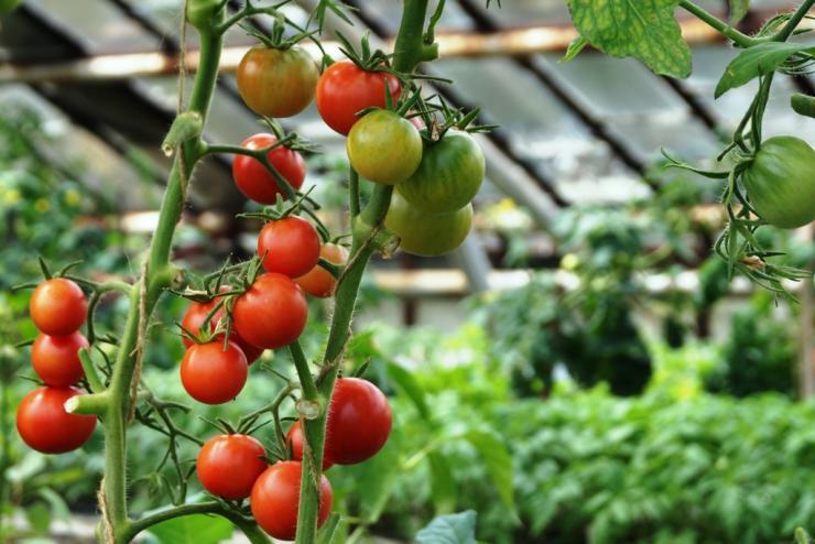 Как вырастить помидоры в теплице зимой?