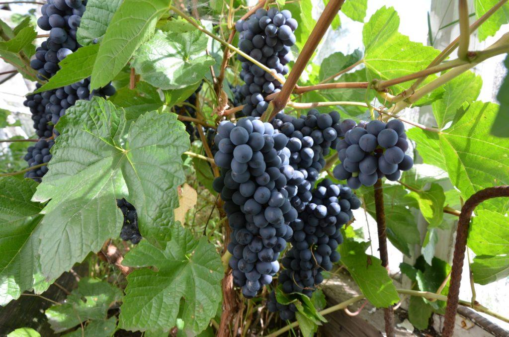 Виноградный урожай